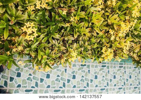 Yellow Ixora Flowers West Indian Jasmine in garden