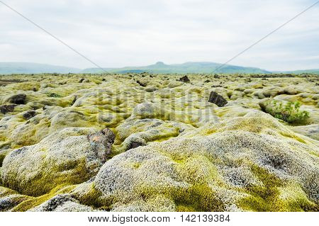 Volcanic lava fields with green moss in Iceland. Selective focus