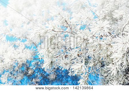 Hoarfrost On The Pines In Winter Forest.