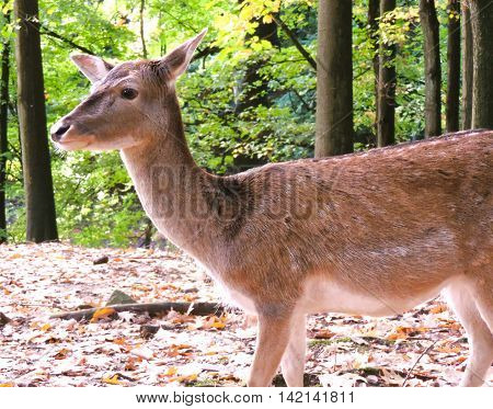 Deer in a mixed forest, autumn scene.