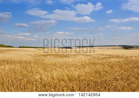 Extensive Barley Fields