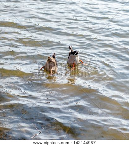 Two wild ducks synchronously dive into the water