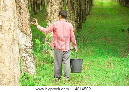 Rubber planters working in rubber tree.work background