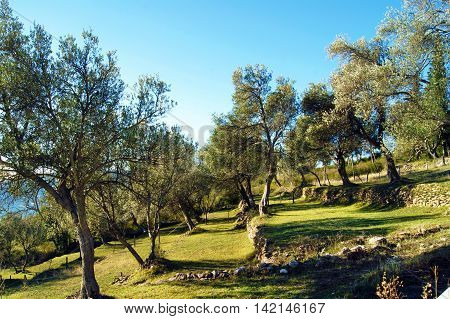 Olive grove on a clear sunny day