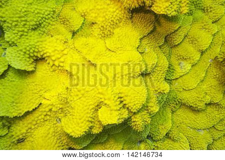 Coral reef with yellow coral turbinaria mesenterina at the bottom of tropical sea underwater