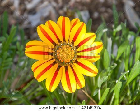 Unique red and yellow striped gazania flower isolated with a green leaf background in Western Australia.
