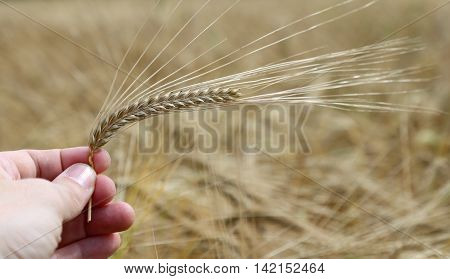 hand of the young farmer holds mature yellow ear of wheat