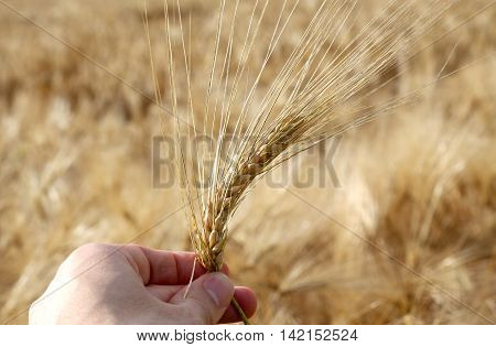 young farmer holds ripe yellow ear of wheat