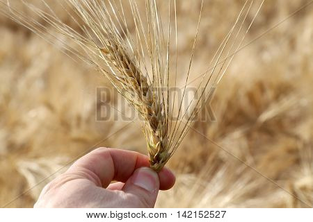 farmer holds mature yellow ear of wheat