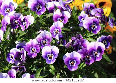 Pansy Flowers Texture