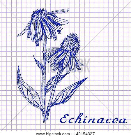 Echinacea. Botanical drawing on exercise book background. Vector illustration. Medical herbs