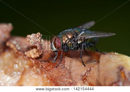 Macro shot of the insect - fly