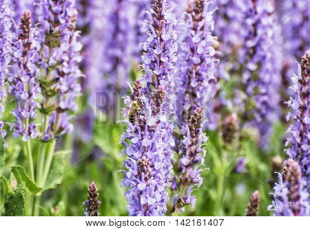 Honey bee pollinates lavender flowers. Macro photo. Seasonal natural scene. Beauty in nature. Vibrant colors.