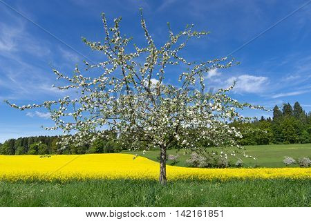 Blooming apple tree in front of a yellow blooming rapeseed field near a forest