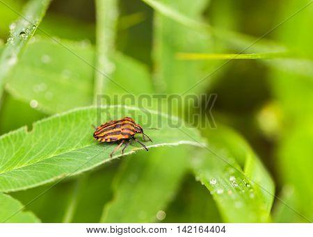 Graphosoma Bug On Grass