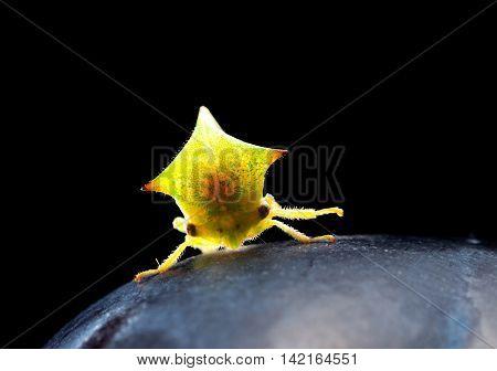Cicada Isolated On Black