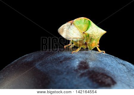 Cicada On Plum