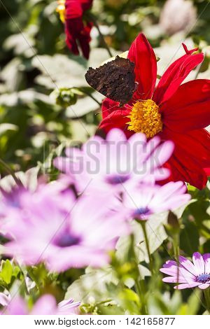 Closeup of a big dark butterfly on a large flower blossom