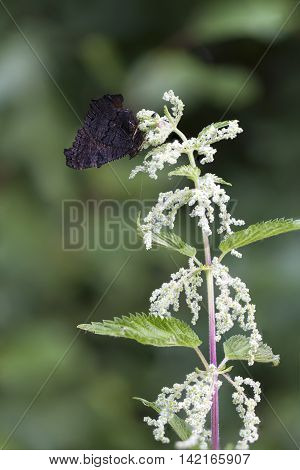 Black butterfly on top of a nettle plant