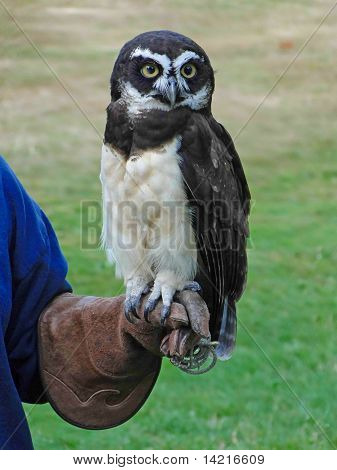 Spectacled Owl,
