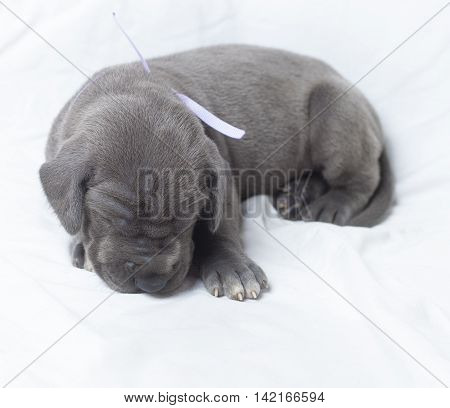 Grey Great Dane three weeks old asleep on a white background