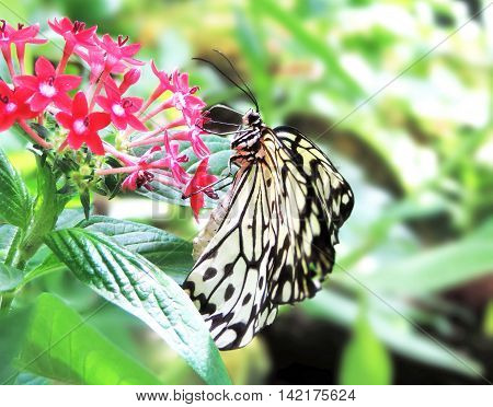 White butterfly resting or sitting on a pink flower.