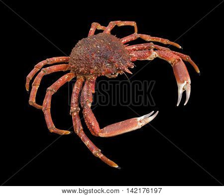 a european spider crab in black back