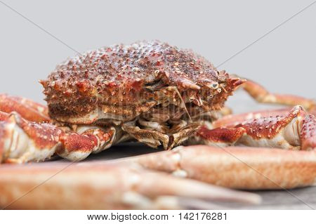 a european spider crab in light grey back
