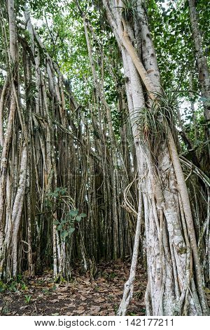 Banyan tree growes in the tropical Cuba