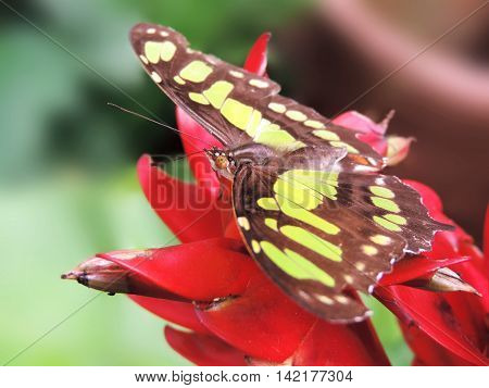 Green butterfly, sitting on a tropical plant or flower