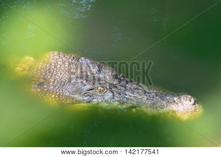 Closeup headshot of Saltwater Crocodile floating around in green water, Thailand, Asia