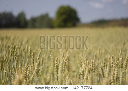 Field of rye, the Russian village, the Luga district, Leningrad region, Russia