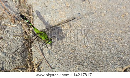 Green dragonfly waiting for a bug to eat on bricks