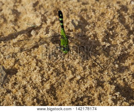 Dragonfly that is waiting for a bug to eat on the sand