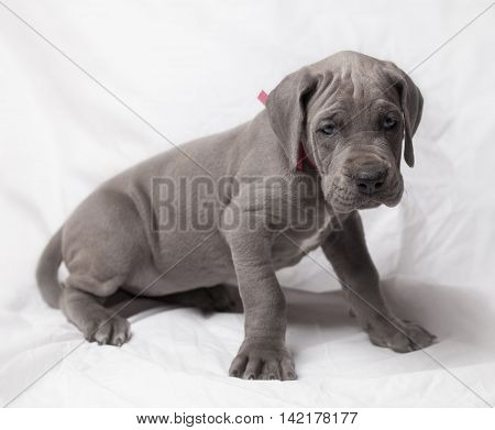 Purebred blue Great Dane puppy on a white background