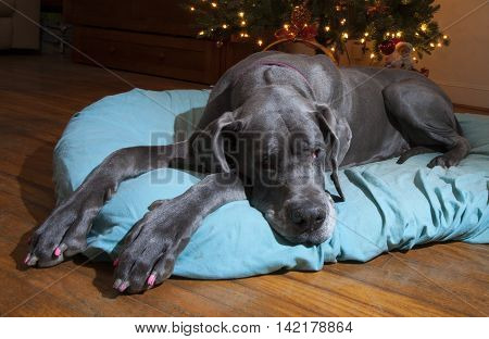 Purebred gray Great Dane pulling guard duty at the Christmas tree