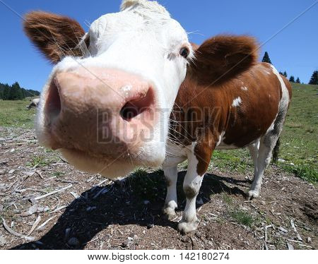Big Nose Cow Grazing In The Mountains