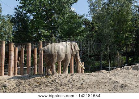 Copenhagen, Denmark - June 7, 2016: Elephant in captivity in Copenhagen Zoo