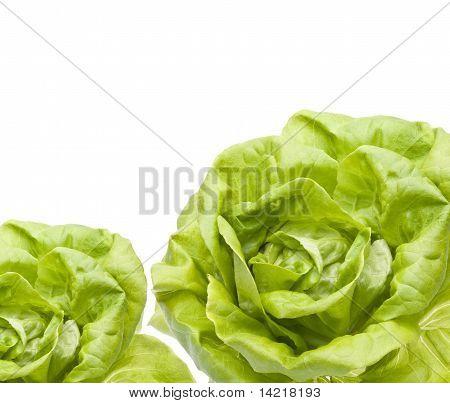 Hydroponic Bibb Lettuce Border