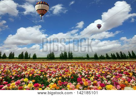 Two magnificent multi-colored balloons flying over flower field. The buttercups on the field planted by color stripes. Israeli kibbutz on the border with Gaza Strip