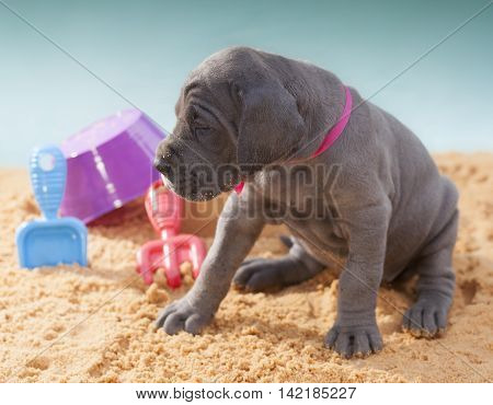 Four week old Great Dane purebred puppy looking at something on the sand