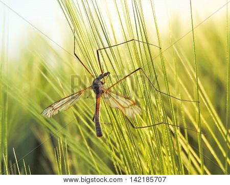Crane fly in a sunny wheat field