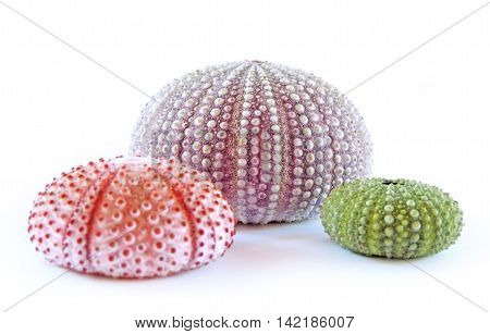 Arrangement of sea urchins, isolated on white background.