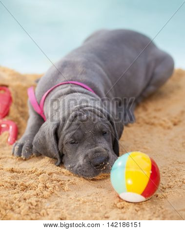 Purebred Great Dane puppy too tired to chase after a ball