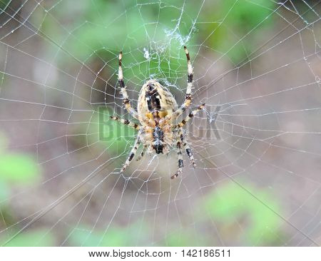Cross spider in its web spider, close-up.