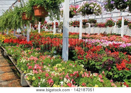 Beautiful scene with rows of flower flats and hanging plants at local nursery.