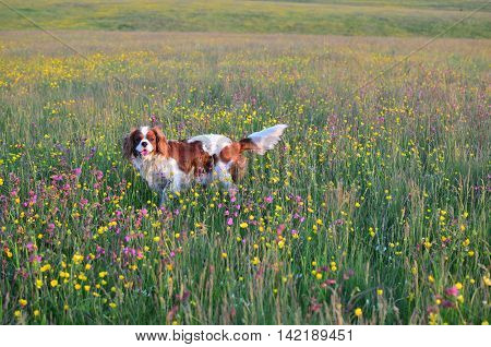 Cavalier King Charles Spaniel Blenheim dog in a field with colorful wildflowers