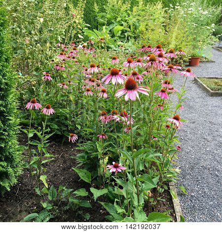 Group of purple cone flowers in the garden (Echinacea)