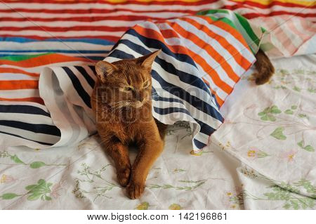 Purebred abyssinian cat lying on couch indoor