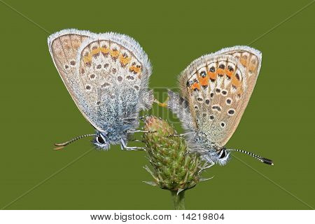 Mating butterflies Common Blue (Polyommatus icarus)